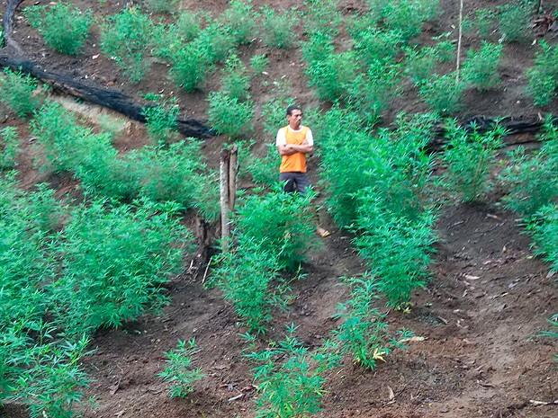 Polícia encontra plantação com 300 pés de maconha em zona rural de Jaguaquara, na Bahia (Foto: Divulgação/ CIPE Sudoeste)