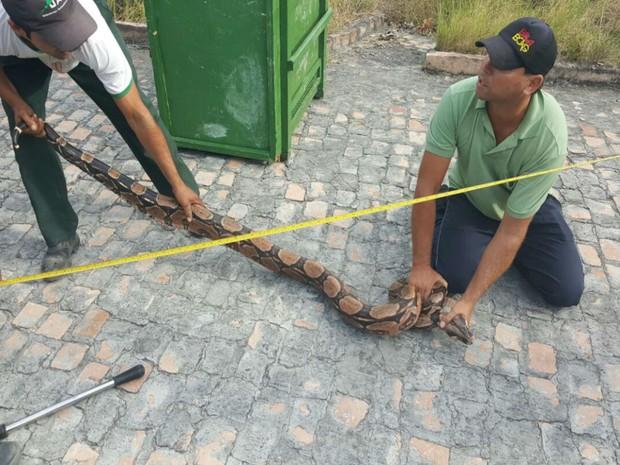 Cobra é da espécie jiboia e tem 2,4 metros de comprimento (Foto: Divulgação / Inema)