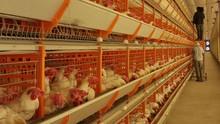 Programa deste domingo (25) destaca avicultura em Valência (Reprodução/TV Clube)