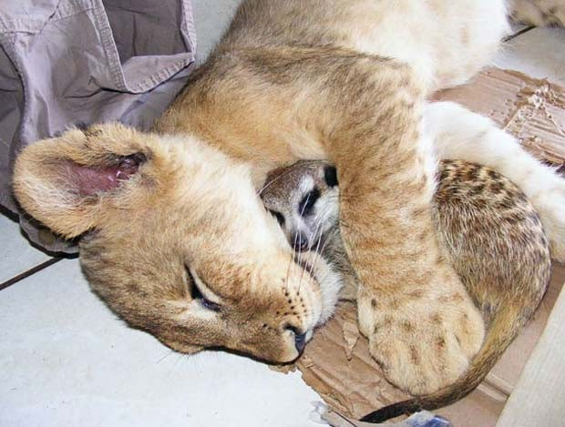 Para surpresa dos funcionários de um parque safári em Sun City, na África do Sul, a leoa 'Zinzi' acabou criando uma amizade com o suricato 'Bob'. Os dois são inseparáveis e chegam a dormir abraçados. (Foto: Matthew Tabaccos/Barcroft Media/Getty Images)