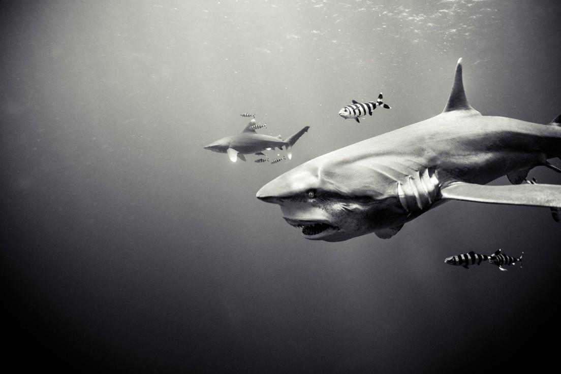 Tubarão-galha-branca-oceânica (Foto: ©Michael Muller / Taschen / CPi Syndication )