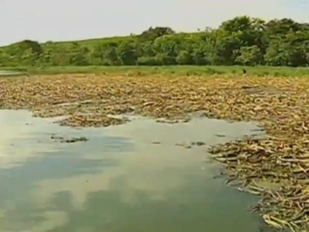 Cetesb afirma rio está no processo de decomposição das algas (Foto: Reprodução/TV TEM)
