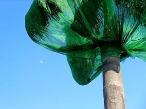 Telas foram instaladas em palmeiras em frente a condomínio de luxo em 2012 (Foto: Marcos Dantas/G1 AM)
