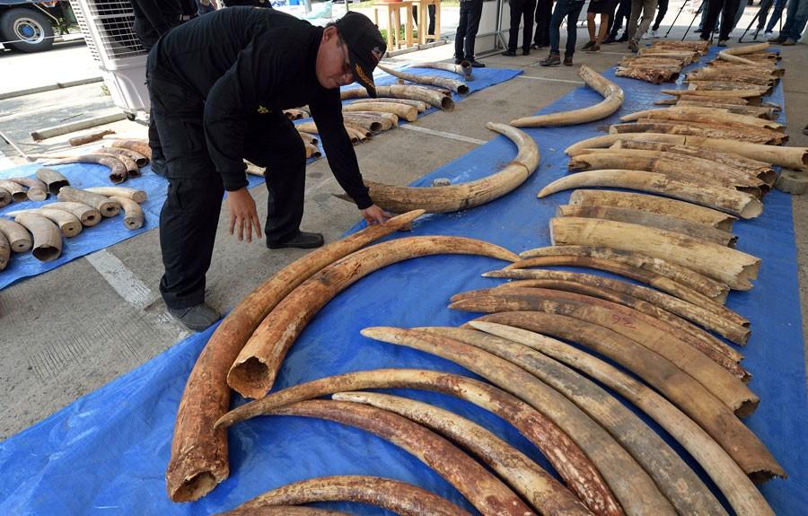 Na última semana, as autoridades tailandesas já tinham apreendido 4 toneladas de marfim no país (Foto: Pornchai Kittiwongsakul/AFP)