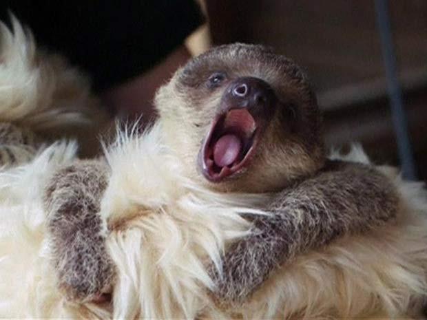 Funcionários do zoológico em Londres usam urso de pelúcia para cuidar do bicho-preguiça. (Foto: BBC)