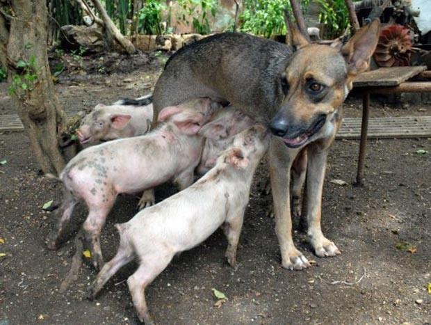 Em agosto de 2011, a cadela 'Yeti' virou atração na cidade de Camaguey, em Cuba, por amamentar filhotes de porco. (Foto: Rodolfo Blanco/AFP)