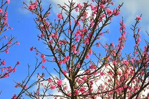 Cerejeira é usada por paisagistas (Ananda Porto/ TG)