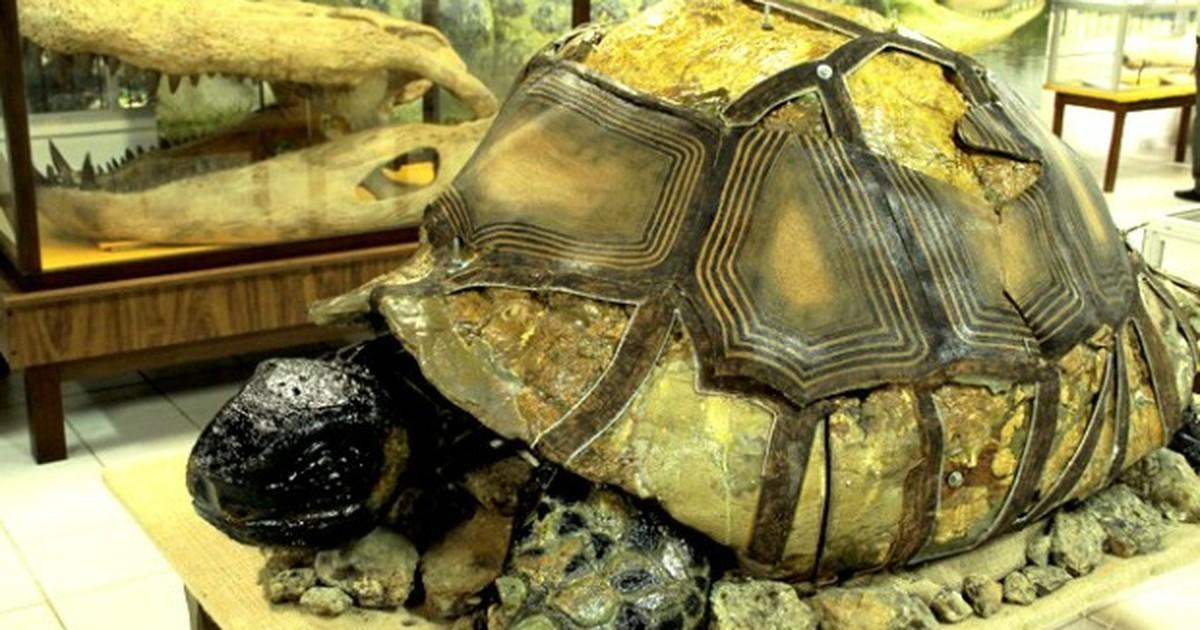 Fóssil de jabuti gigante do AC pode ser espécie desconhecida para ciência