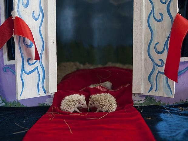 Família de ouriços agora se mudou para castelo em miniatura (Foto: Whitney Saldava/AP)