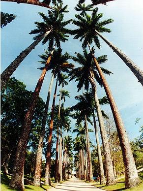 Palmeira imperial virou símbolo do parque (Foto: Sérgio Motta Barbosa / Divulgação)