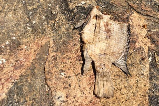 Peixe morto na margem do rio Doce em Governador Valadares (MG) (Foto: Flávia Mantovani/G1)