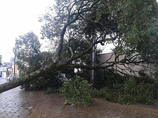 Árvore cai sobre carro, mas ninguém fica ferido em Passos (Foto: Gabriela Rezende)