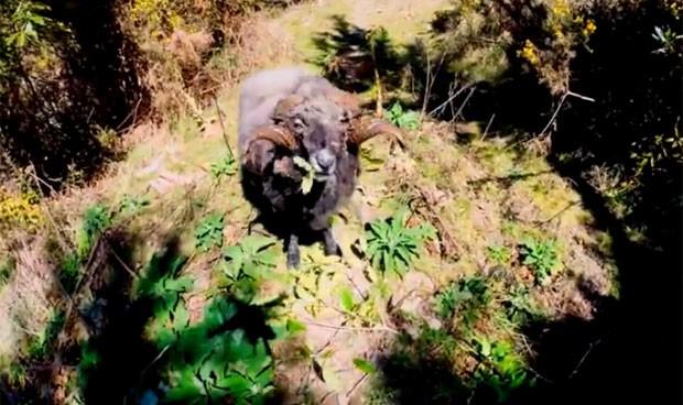 Carneiro furioso atacou drone após o aparelho voar perto demais dele na Nova Zelândia (Foto: Reprodução/YouTube/Buddhanz1)