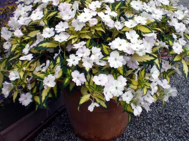 Flores produzidas em Holambra com destaque para as cores do Brasil (Foto: Jean Ferreira/Arquivo pessoal)