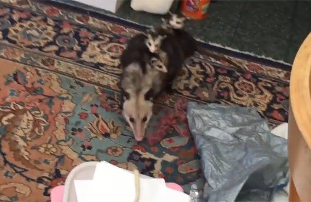 Mulher acredita que animal entrou por porta que ela deixava aberta (Foto: Reprodução/YouTube/Tara McVicar)