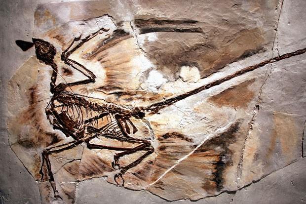 Fóssil de um Microraptor é visto no Museu Americano de História Natural, em Nova York (Foto: Spencer Platt/Getty Images)