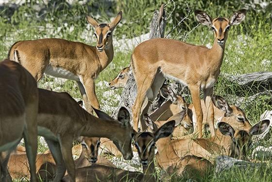 A razão da concentração do leopardo: um grupo de fêmeas e filhotes de impalas-de-cara-preta descansa do outro lado da estrada, sem perceber que o felino está pensando em sua próxima refeição  (Foto: © Haroldo Castro/ÉPOCA)