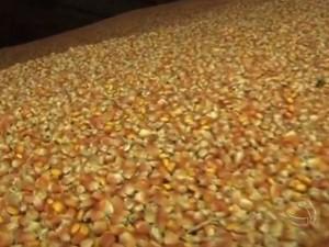 Produtores rurais de Mato Grosso do Sul já estão planejando a próxima safrinha de milho (Foto: Reprodução/TV Morena)