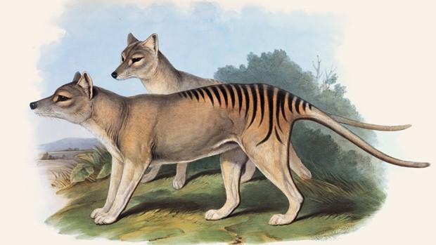 O tigre-da-tasmânia foi o maior marsupial carnívoro do mundo  (Foto: John Gould)