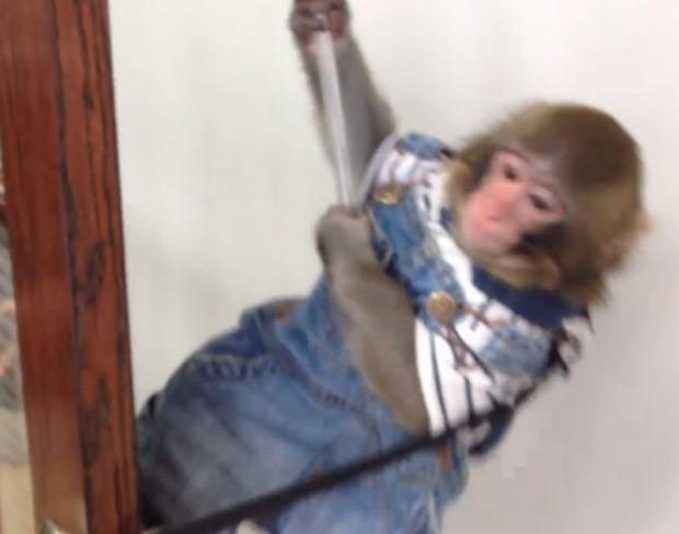 De macacão jeans, Darwin brinca no escritório de sua dona, no Canadá (Foto: Reprodução)