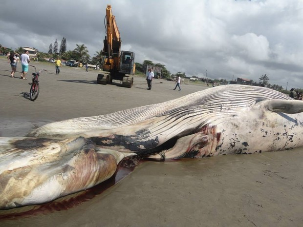 Baleia foi encontrada morta em praia de Itanhaém, SP (Foto: Alessandra Leal / Arquivo Pessoal)