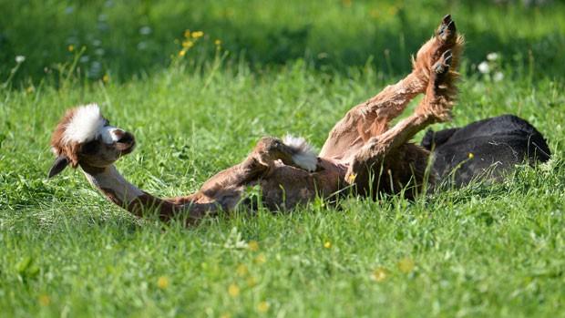 Esses mamíferos são originários da América do Sul e são parentes próximos das lhamas (Foto: Kerstin Joensson/AP)