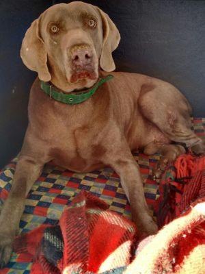 Cachorro tinha feito cirurgia no dia anterior (Foto: Luciane Alves/Arquivo Pessoal)