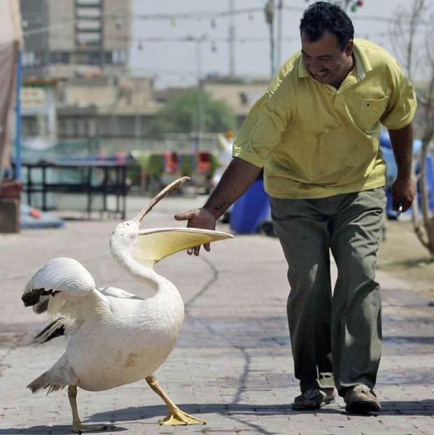 O iraquiano Basem Abdullah mantém um íbis como animal de estimação. Ele chama atenção quando passeia com a ave em Bagdá, no Iraque. (Foto: Hadi Mizban/AP)