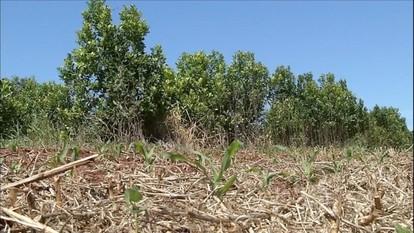 Produtores rurais desistem da cultura da erva-mate