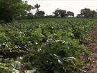 Chuva anima os agricultores de várias regiões do Nordeste