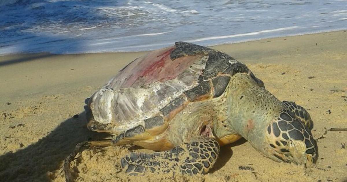 G1 tartaruga marinha achada morta em praia de prado - Pagine di colorazione tartaruga ...