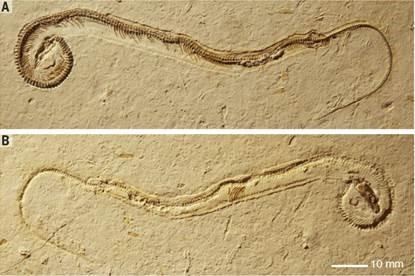 Fóssil de espécie de cobra com patas que foi descoberto na Formação Crato, na Bacia do Araripe, no Ceará (Foto: Reprodução/Nature)