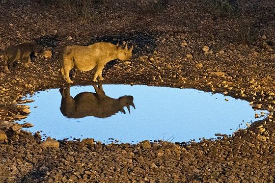 Rinocerontes-negros, uma mãe e um filhote  (Foto: © Haroldo Castro/Época)