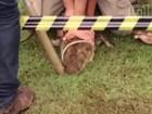 Veja vídeo da retirada do jacaré que virou 'atração' em lagoa de Piracicaba