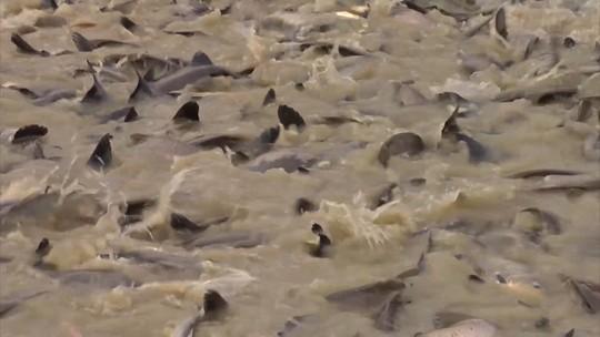 Mirante Rural destaca o avanço da piscicultura no Vale do Pindaré