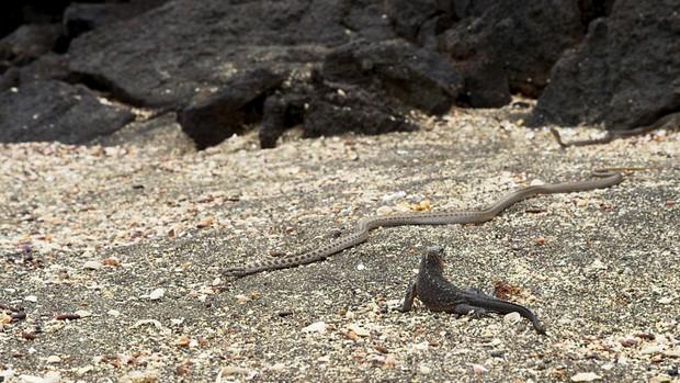 Serpentes caçam filhote de iguana-marinha em Galápagos (Equador) (Foto: BBC)