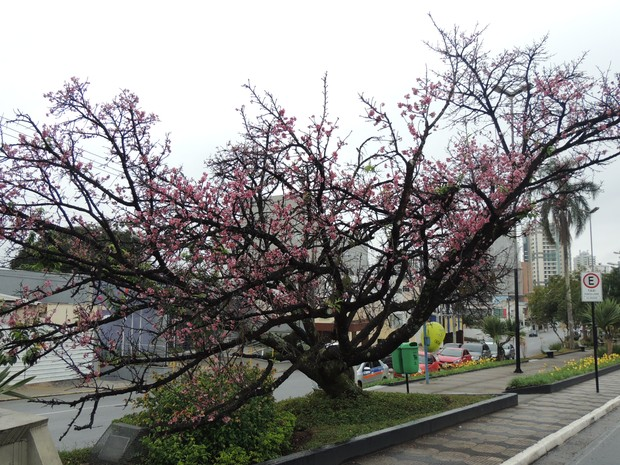 Árvores cerejeira em Mogi das Cruzes (Foto: Tatiane Santos/G1)