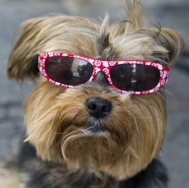 Um cão foi fotografado usando óculos de sol fashion, em junho deste ano, em Madri, na Espanha. (Foto: Dominique Faget/AFP)