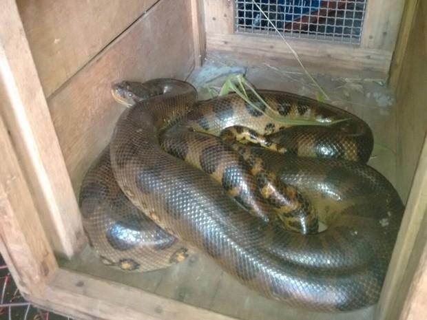 Réptil foi capturado no Bairro Tucuruvi, em Adamantina (Foto: Corpo de Bombeiros/Cedida)