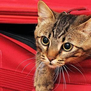 Gatos podem ser levados em malas especiais no transporte público (Foto: Shutterstock)