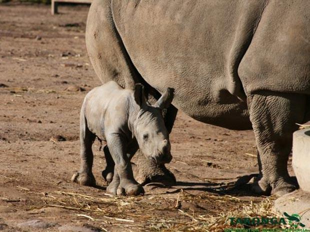 Filhote de rinoceronte branco, com apenas um dia de idade (Foto: Leonie Saville/Taronga Western Plains Zoo)