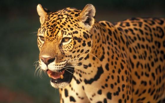 Onça-pintada. A espécie pode voltar a ser caçada se o projeto de lei for aprovado (Foto: Divulgação - Zig Koch)