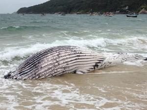 Será biópsia na baleia (Foto: Naim Campos/RBS TV)