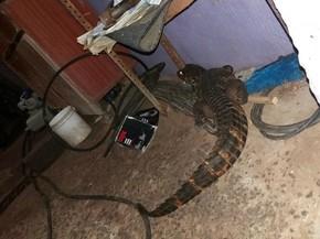 Jacaré havia entrado em uma residência na cidade de Trairi (Foto: Arquivo Pessoal)