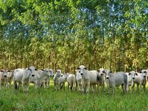 Pesquisa sobre sistema integração lavoura-pecuária-floresta contará com 300 bovinos  (Foto: Divulgação assessoria/Embrapa)