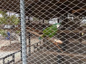 Pássaros encontrados em cativeiro com penas das asas cortadas recebem tratamento no Cetas (Foto: Vanessa Lima)