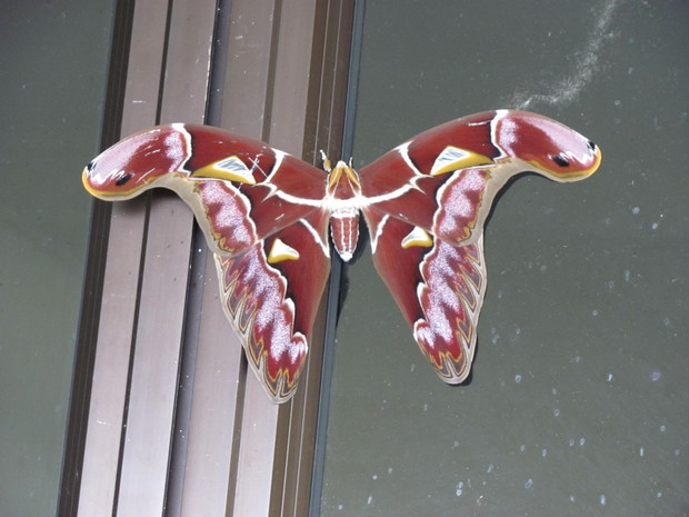 Nova espécie de mariposa que foi encontrada por pesquisadores da Holanda e Malásia durante expedição em Borneu (Foto: Constantijn Mennes/Naturalis)