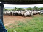 Polícia prende quadrilha e recupera 350 cabeças de gado em MT