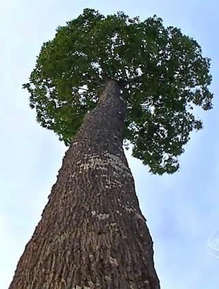 Série 'Castanha: Vida na Floresta', mostra o trabalho de conservação dos castanhais. (Foto: Reprodução/É Bem MT)