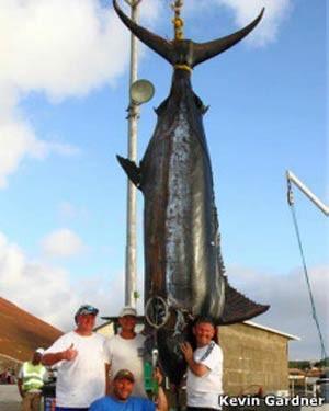 Pescador esportivo captura marlim azul de quase 600 quilos em ilha do Atlântico (Foto: BBC)
